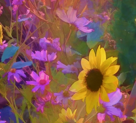 cosmos sunflowers feature
