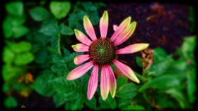 coneflower survivor
