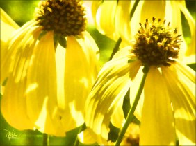 Yellow Wild Coneflower - Original Fine Art Prints - Douglas MooreZart