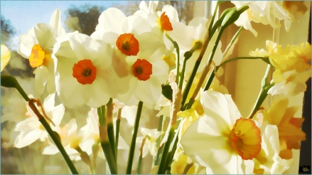 Daffodils in My Window - Douglas Moorezart, copyright 2018, all rights reserved