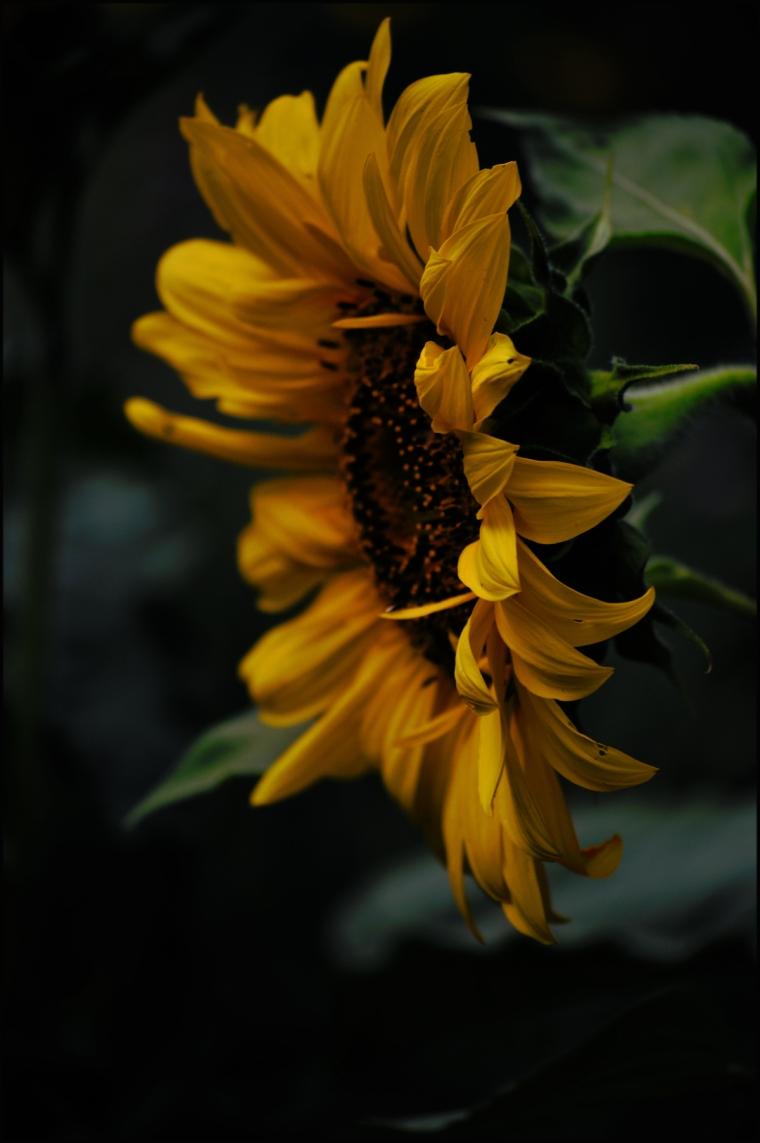 sidewayssunflower2 1200
