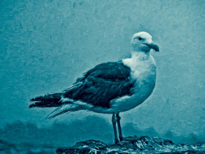Blue Gull - Douglas Moorezart, copyright 2015