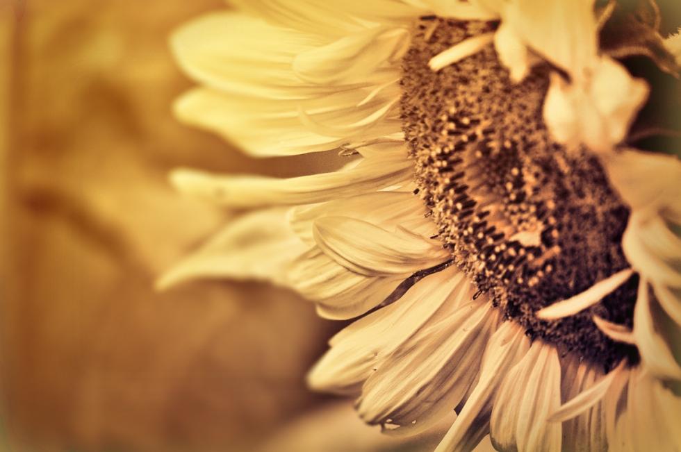 sunflower-20-1200