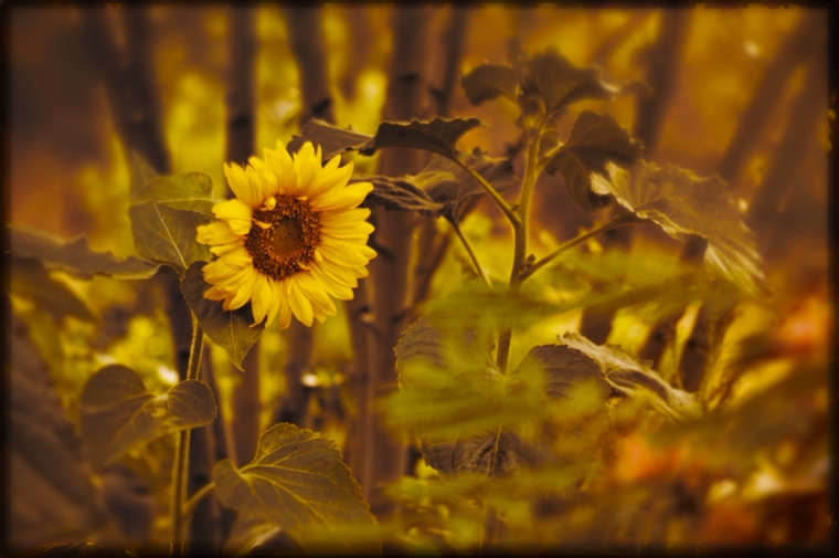 sunflower-sentry-1200e